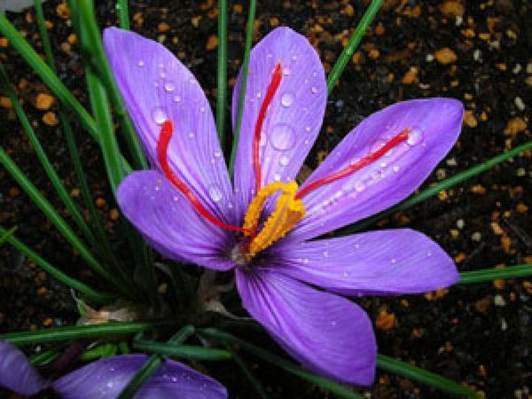 azafr n t cnica de reproducci n por bulbos plantas flor