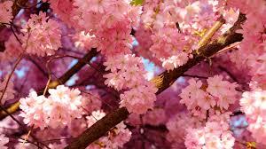 Sakura o flor de cerezo: símbolo japonés, belleza universal