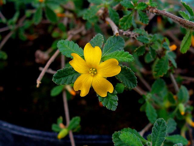 Plantas medicinales: La Damiana o Turnera diffusa