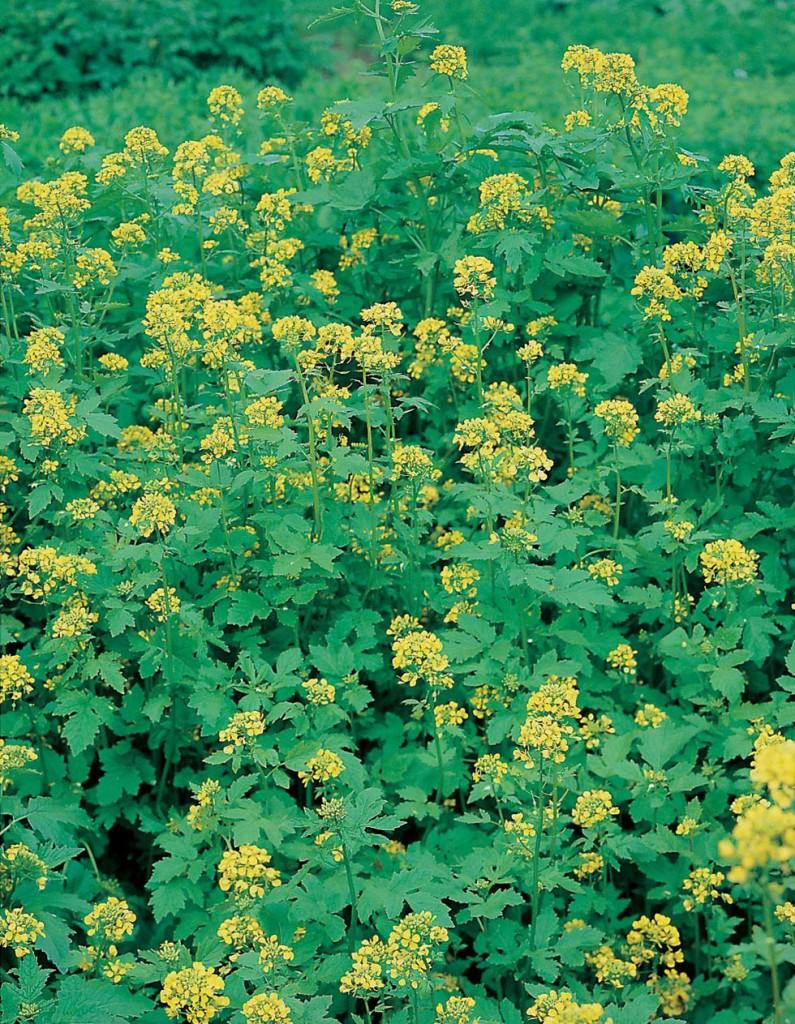 La mostaza blanca puede ser de utilidad para aportar nutrientes al suelo y combatir plagas como los nemátodos.