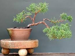 plaga bonsai