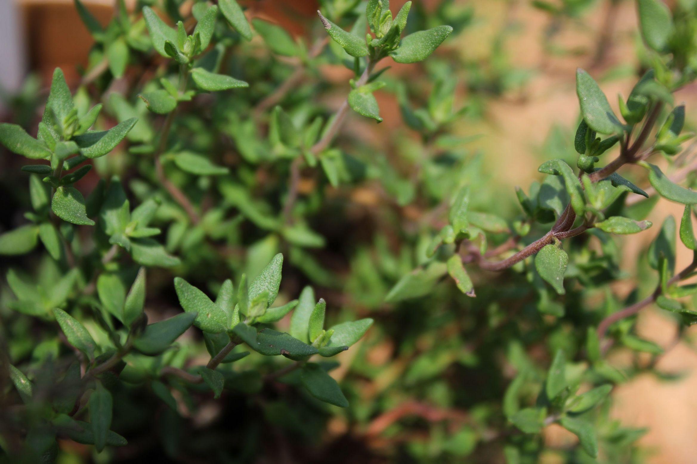 Tomillo: Cultivo, reproducción y cuidados