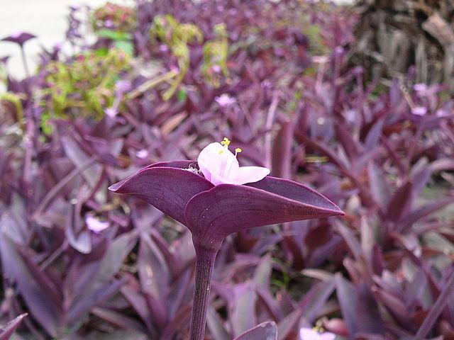 Tradescantia purpúrea: Características y cultivo