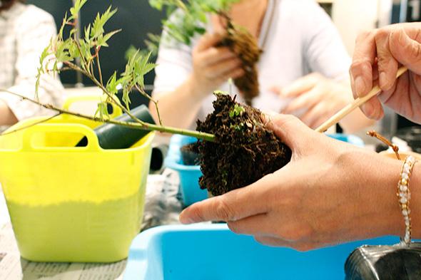 bonsai trasplante