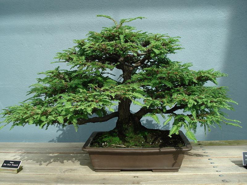 Cuándo y cómo se trasplanta un bonsai