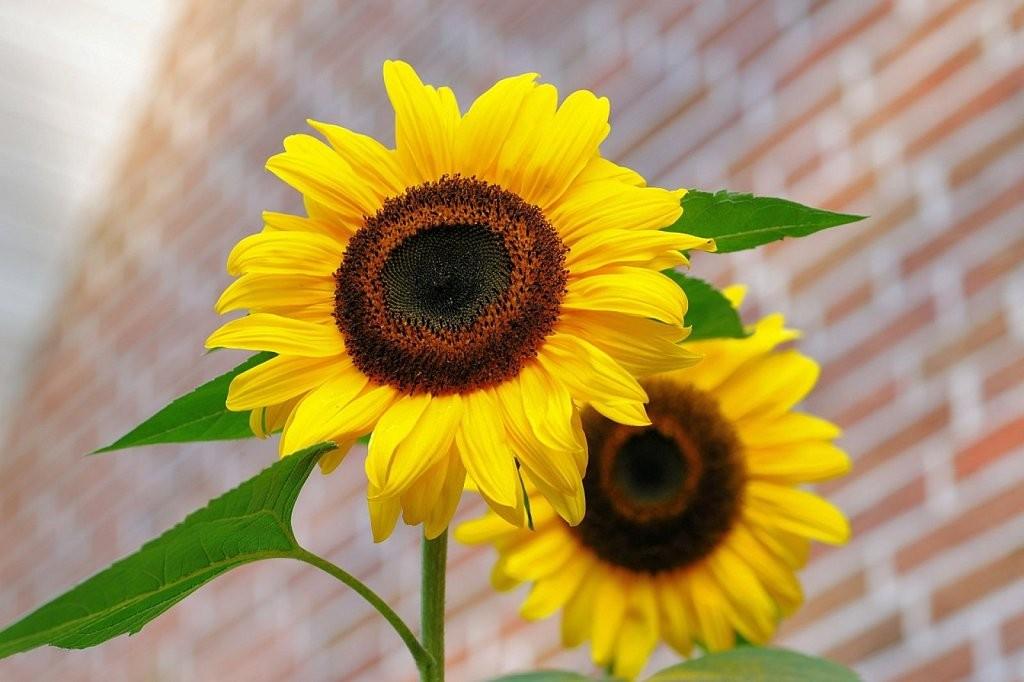 C mo cultivar girasoles en macetas flores semillas for Como sembrar semillas en macetas