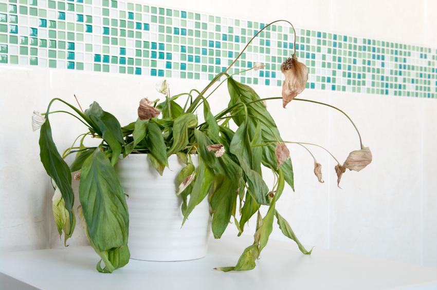 Cómo salvar a una planta que se seca