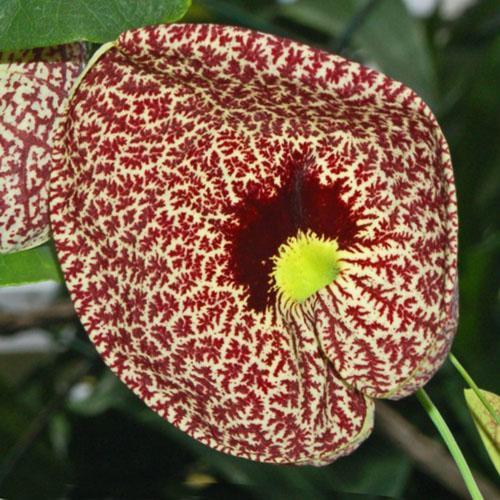 Plantas trepadoras: Características y cultivo de la Aristolochia littoralis