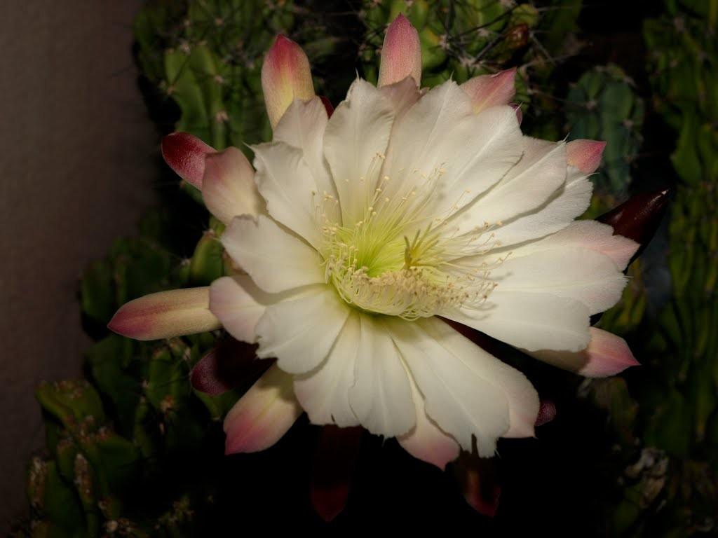 cactus cereus monstruoso peruvianus