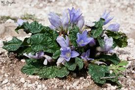 Características de la mandrágora autumnalis, contraindicada en jardines