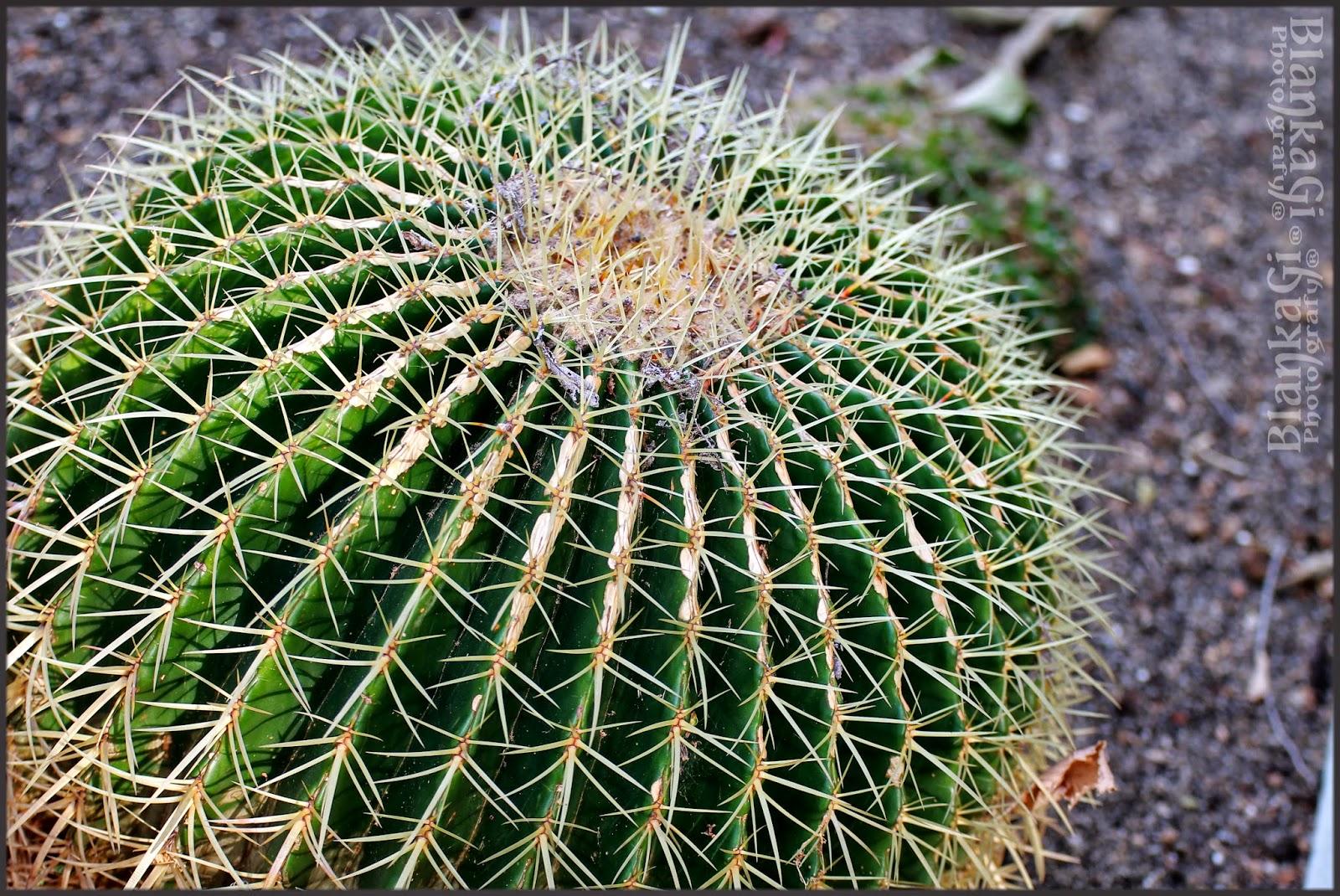 Cultivo y cuidados del cactus bola de oro plantas flor for Como plantar cactus
