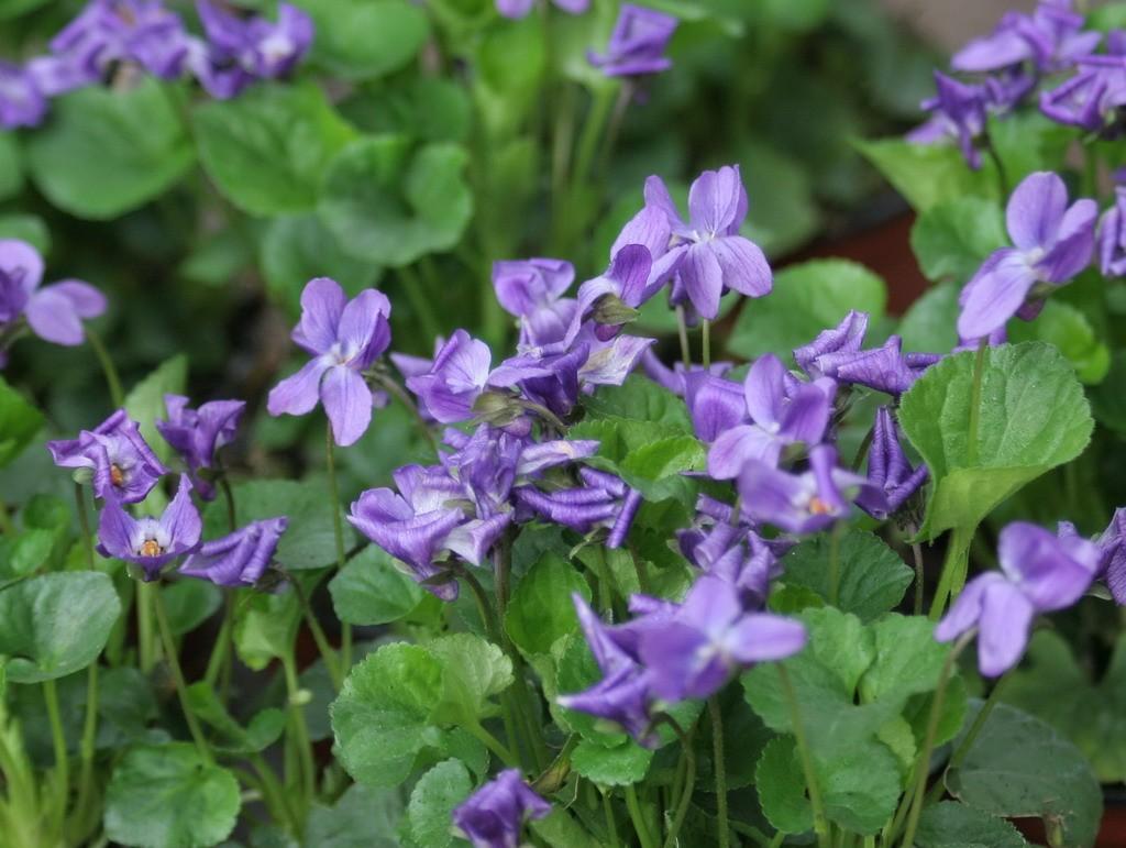 violeta comun