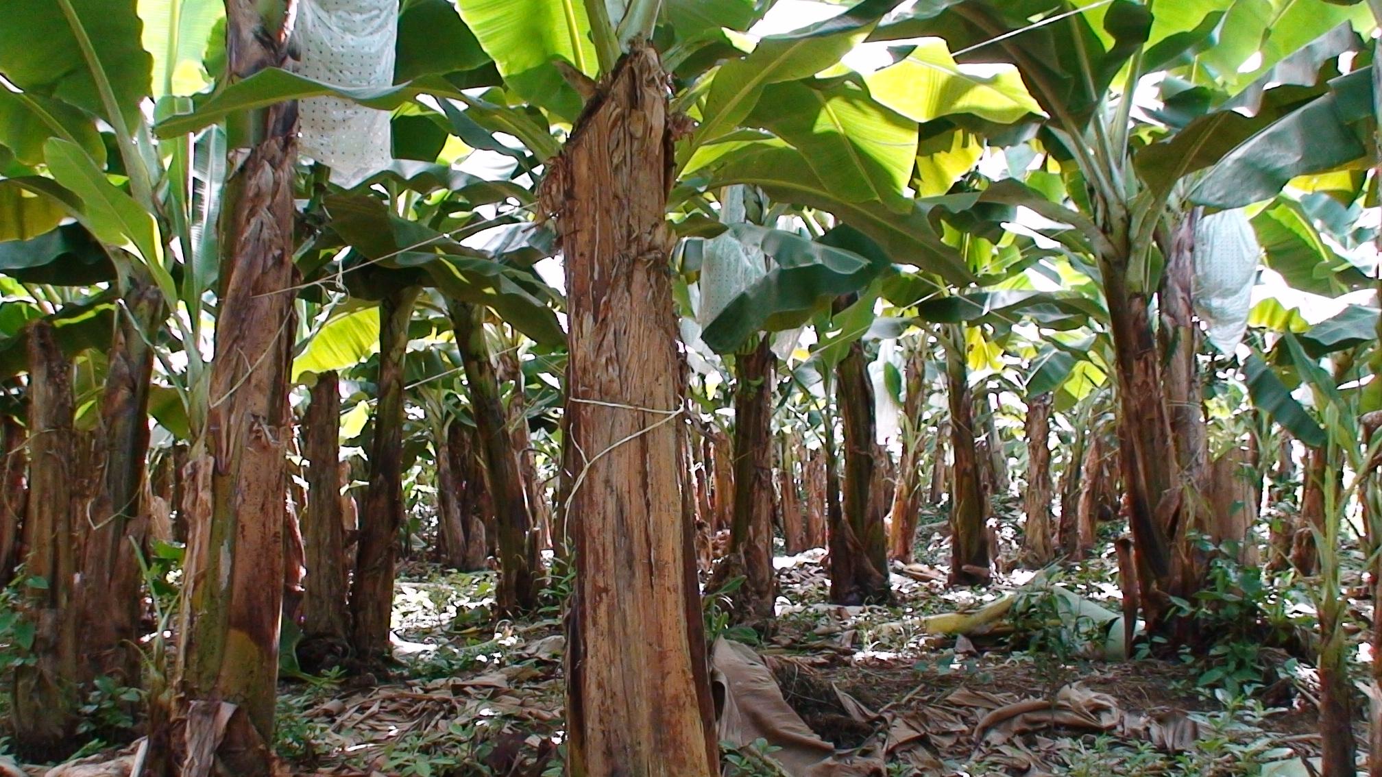 C mo cultivar un banano en casa arboles siembra flor de for Banano de jardin