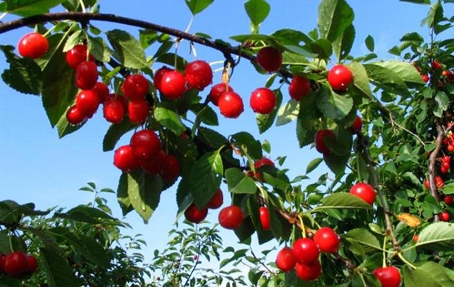 Cultivo y caracter sticas del guindo arboles frutales for Arbol con raices y frutos