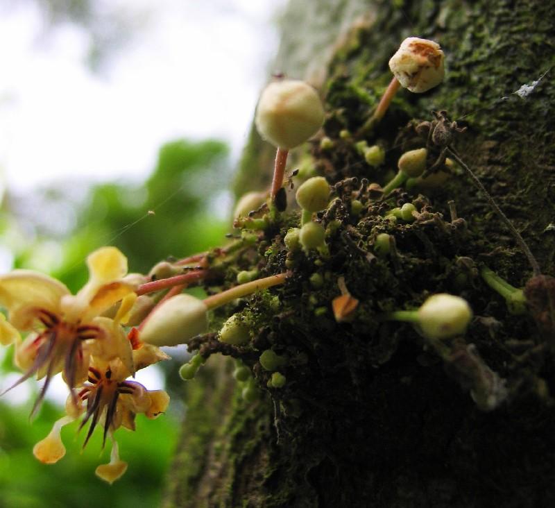 Cu les son los procesos del cacao arboles siembra flor for Cuales son los arboles perennes