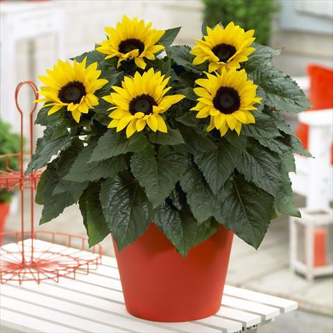 Girasol cultivo en maceta y cuidados flores flor de for Plantas en macetas