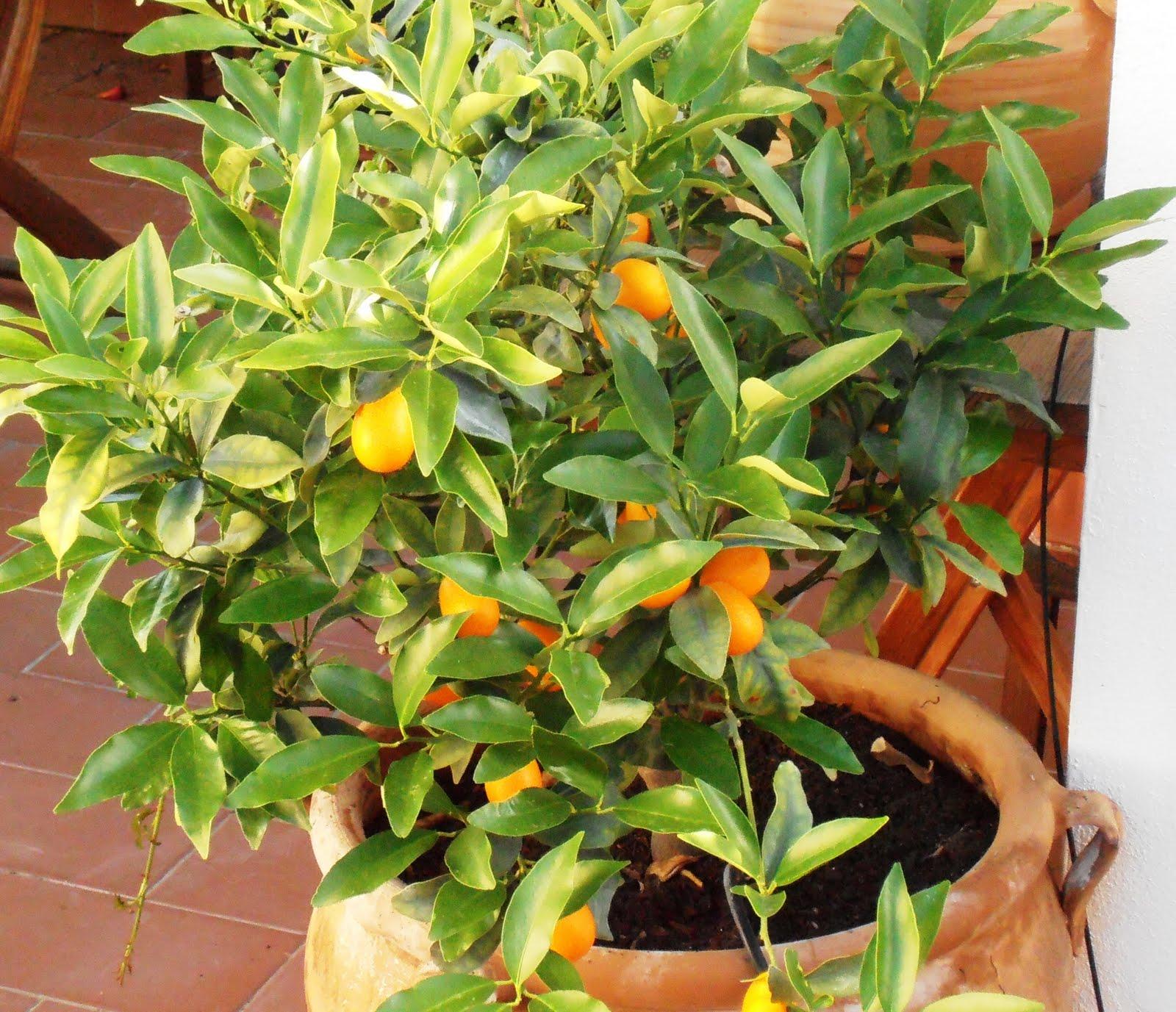Cultivo Del Kinoto Un árbol Para Jardines Pequeños Arboles Frutales Flor De Planta