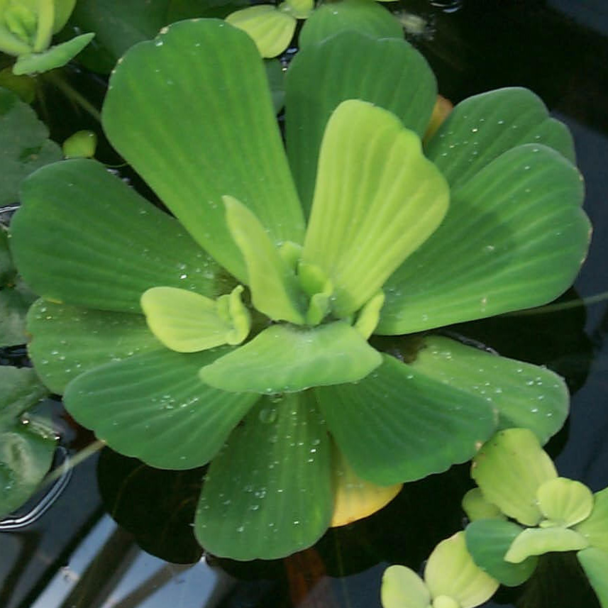 Plantas para estanques la lechuga de agua pistia for Plantas para estanques de agua fria