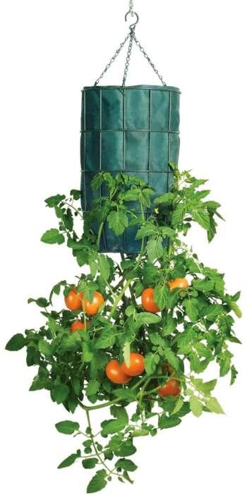 maceta invertida tomate