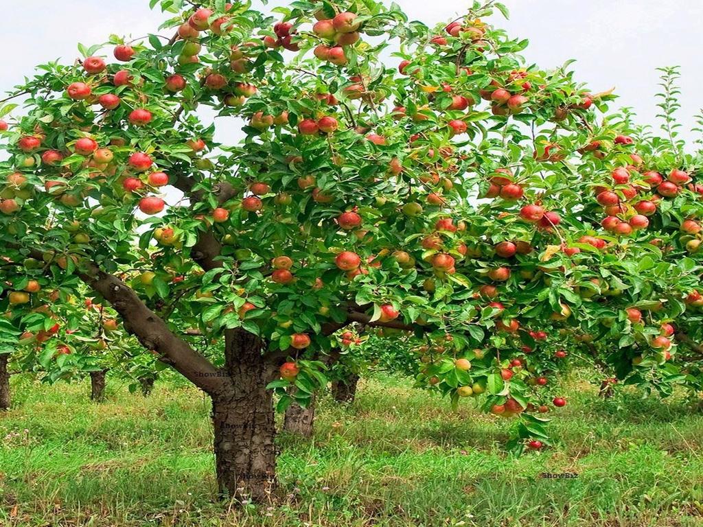 Plagas y enfermedades de los manzanos arboles control for Arbol con raices y frutos