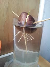 C mo cultivar palta o aguacate germinando la semilla for Como cultivar aguacate