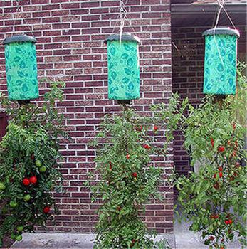 Plantas de tomate y frutilla en crecimiento invertido.