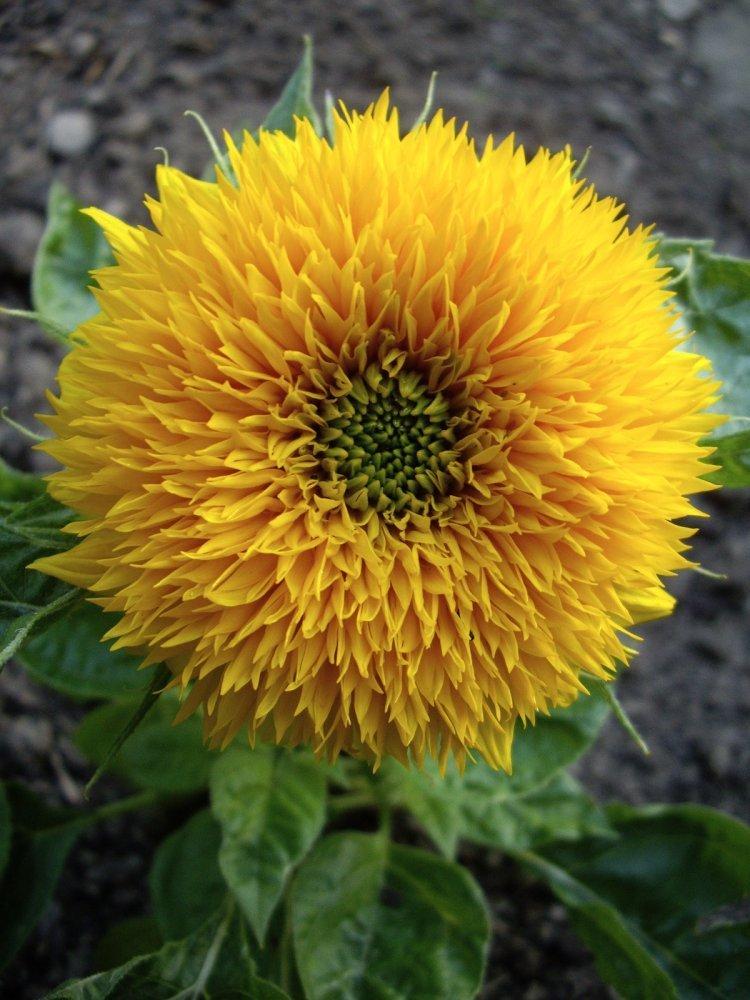girasol: cultivo en maceta y cuidados flores - flor de planta