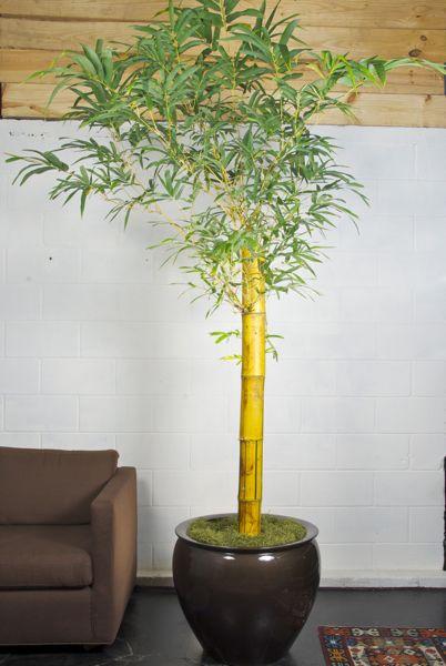 Cómo cultivar bambú en espacios interiores