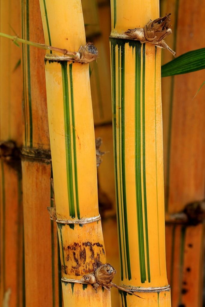 Tallos de Bambusa vulgaris var. vittata