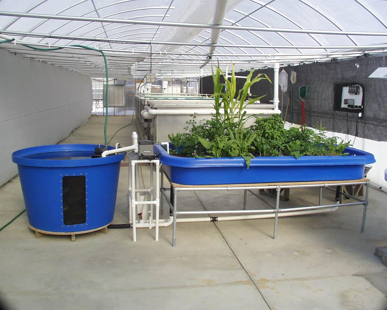 Acuaponía: Recomendaciones básicas para mantener un cultivo