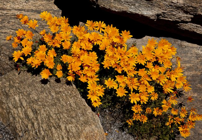 Dimorphotheca sinuata, un toque naranja para el jardín