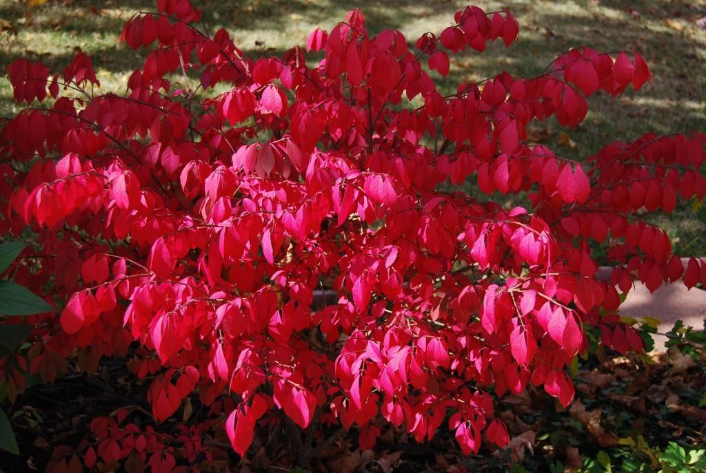 Arbusto ardiente o bonetero alado cultivo cuidados y for Euonymus alatus