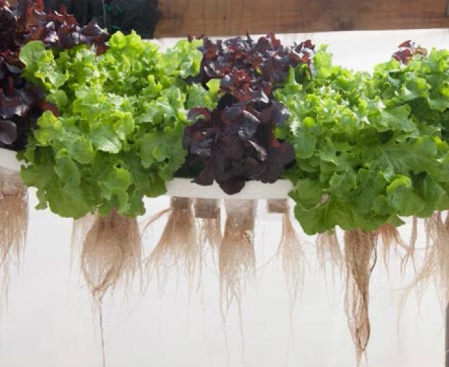 Verduras que se cultivan con acuaponía: Lechuga