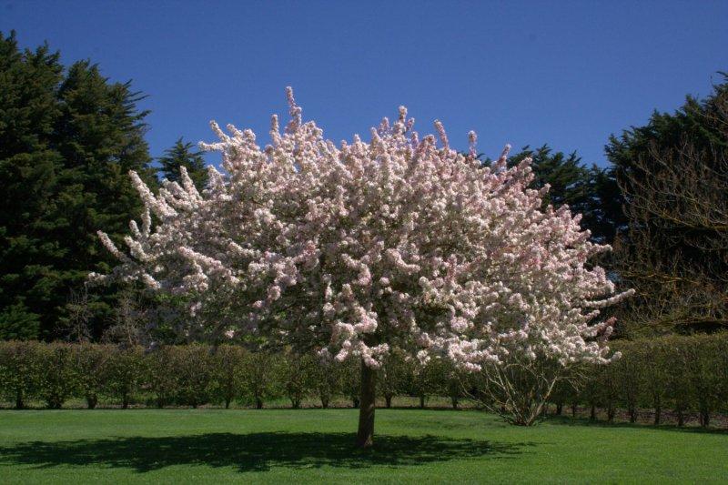 Manzano japon s caracter sticas y cultivo arboles flor for Cuanto mide un arbol