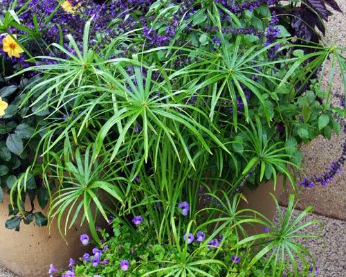 Plantas acuáticas: El papiro o palmera de paraguas (Cyperus alternifolius)
