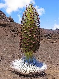 Sable de Plata del Haleakala y otras raras plantas exóticas