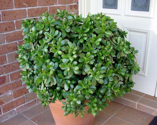 Planta de jade: Características, riego y cuidados