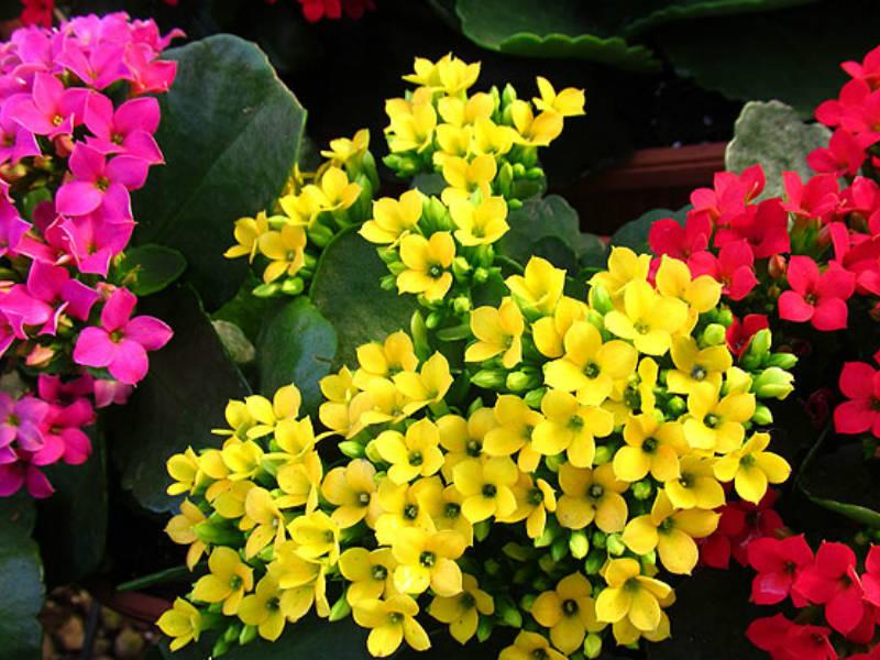 Kalanchoe blossfeldiana: Cultivo, suelo y riego