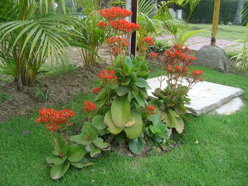 kalanchoe blossfeldiana cultivo suelo y riego plantas flor de planta flor de planta. Black Bedroom Furniture Sets. Home Design Ideas