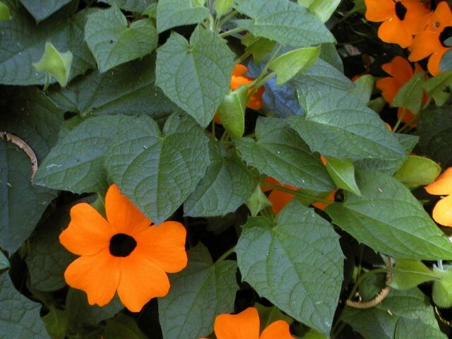 Ojos de poeta: Características, cultivo y cuidados
