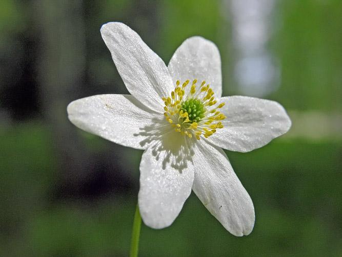 anemona del bosque 2