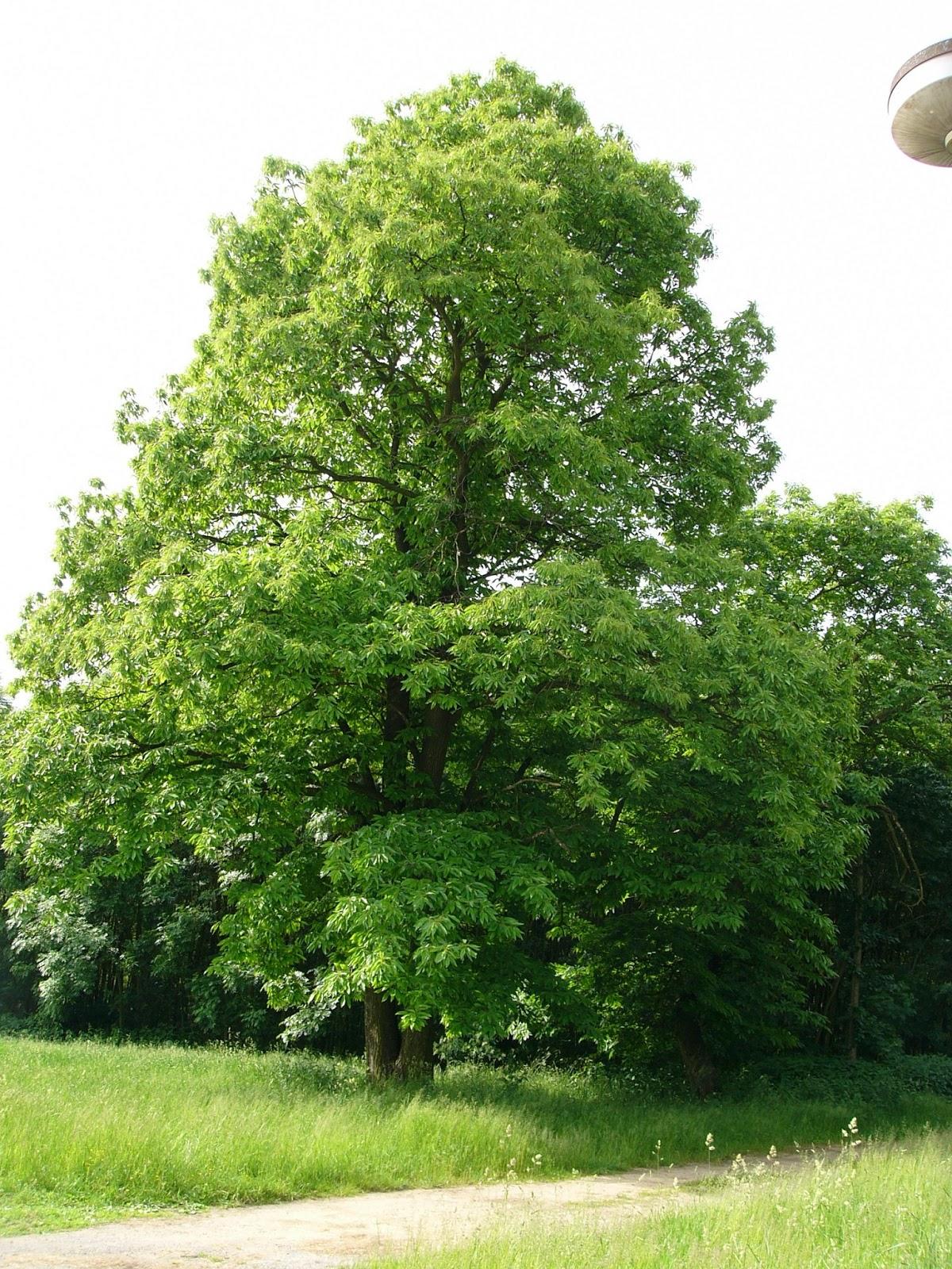 Castaño: Características generales y cultivo