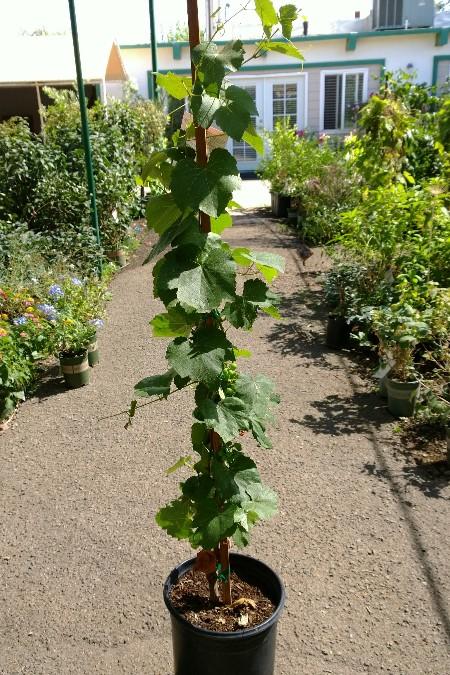 Cultivo de la vid en macetas y otros contenedores plantas - Poda de hortensias en maceta ...