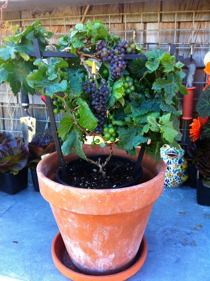 Cultivo de la vid en macetas y otros contenedores