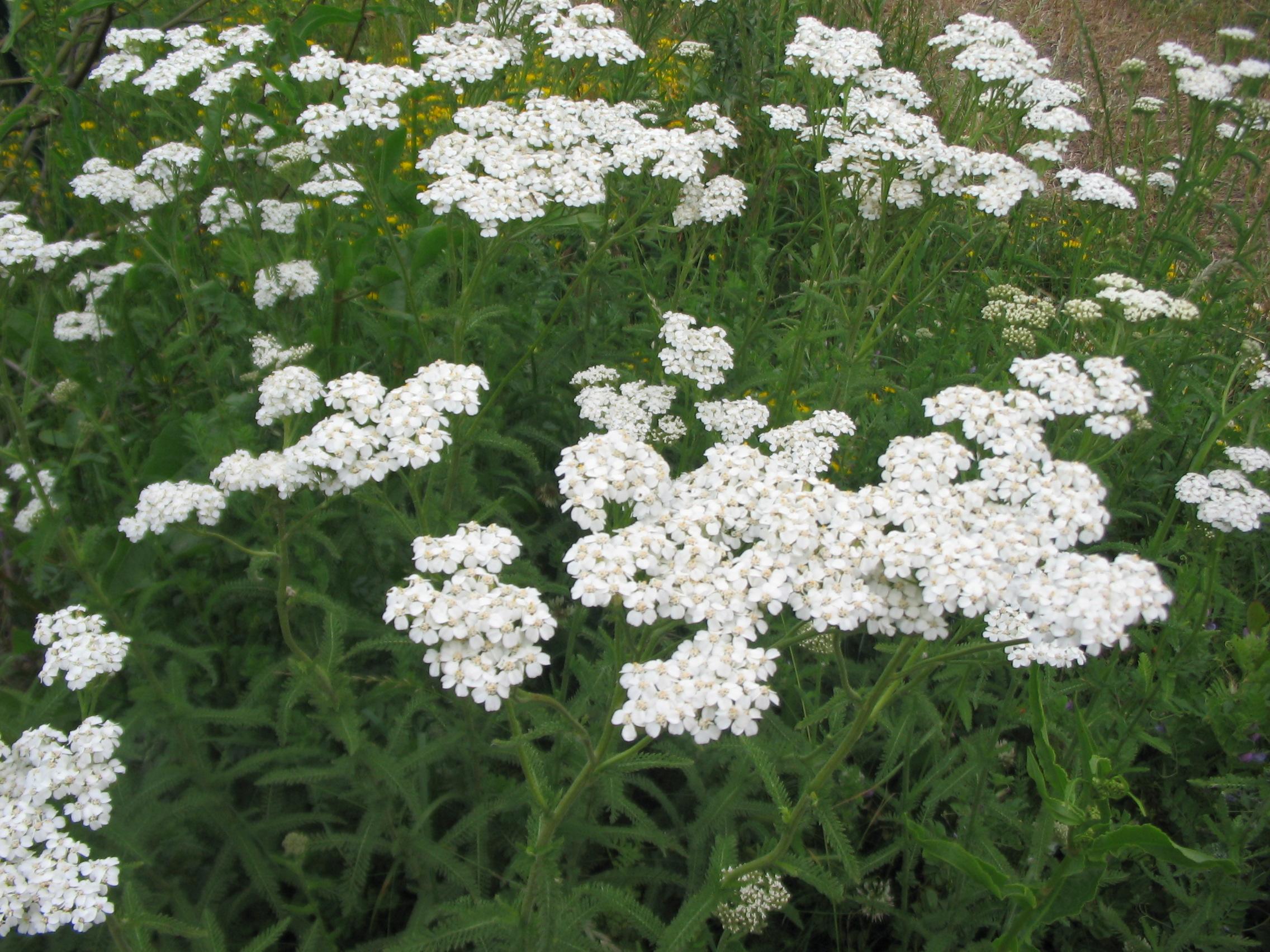 Plantas tapizantes: Características generales y especies más utilizadas