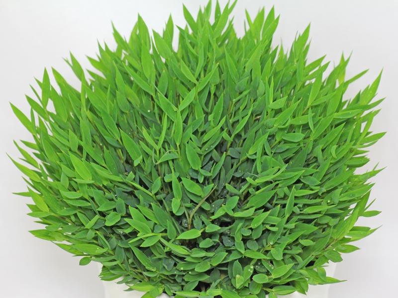 Plantas de interior: El bambú enano