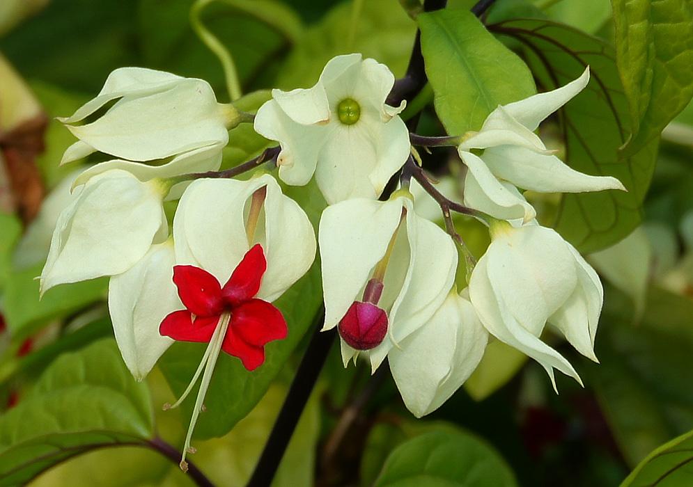 Enredaderas ornamentales: La gloria enramada (Clerodendrum thomsoniae)