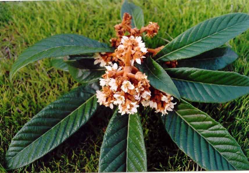 N spero japon s caracter sticas y propagaci n frutales for Caracteristicas de arboles frondosos