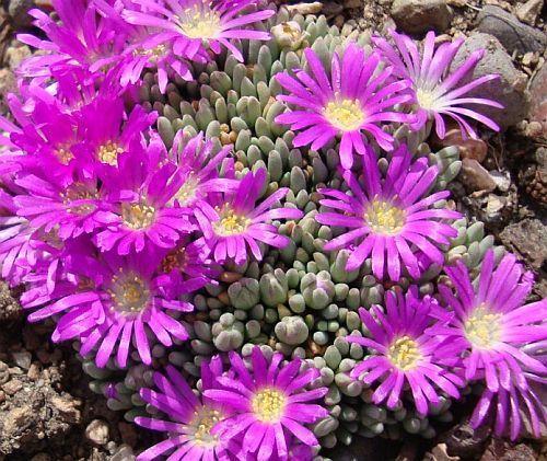 Delosperma sphalmanthoides: Cultivo, cuidados y propagación