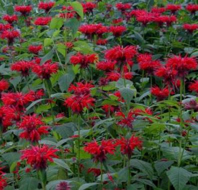 Bergamota silvestre: Cultivo, riego y cuidados